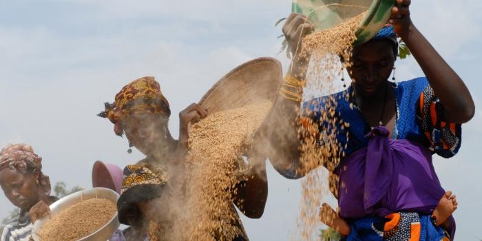 Women winnow rice in Banankoro village, Mali