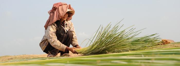 Woman working in rice field